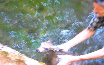Our Fawn Rescue Adventure With a Happy Ending (video!)